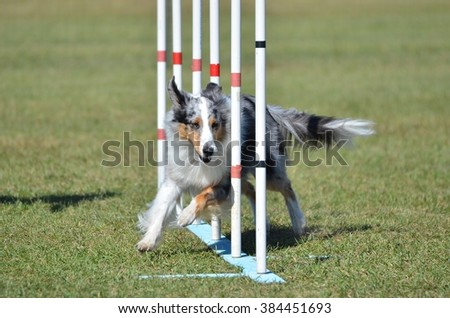 Blue Merle Shetland Sheepdog (Sheltie) Weaving Through Poles at Dog Agility Trial - stock photo