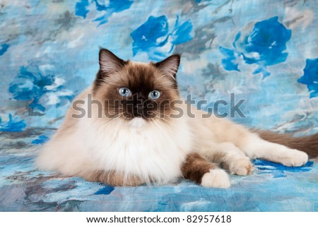 Blue Mitted Ragdoll cat on blue floral background - stock photo