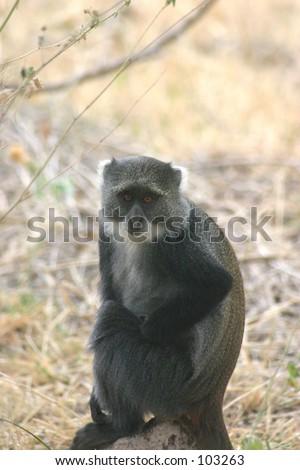 Blue Monkey 1.04 - stock photo