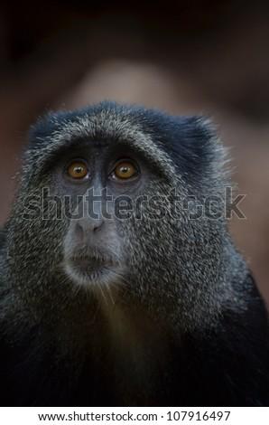 Blue Monkey - stock photo