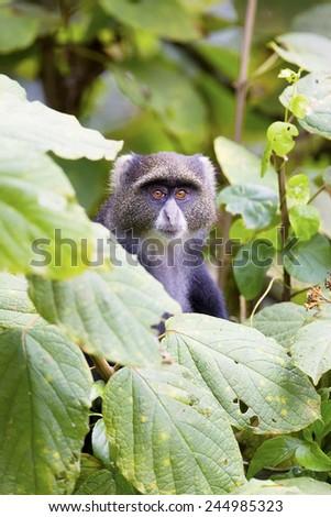 Blue monkey in the tree - stock photo