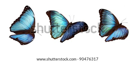 Blue morpho  butterflies, flying positions, underside. Stacked macros so they are all sharp and can be inserted everywhere. - stock photo