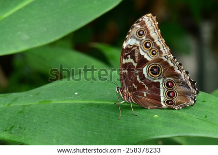 Blue Morpho butterfly lands in the butterfly gardens. - stock photo