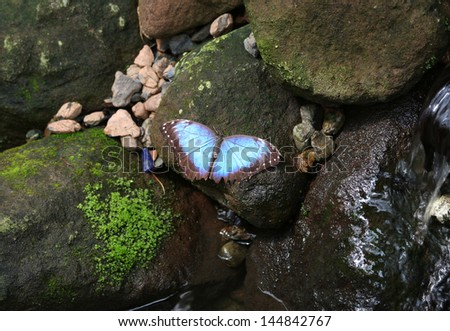 Blue Morpho Butterfly  standing on a mossy wet rock - stock photo
