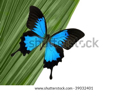 Blue Mountain Butterfly on green palm leaf. - stock photo