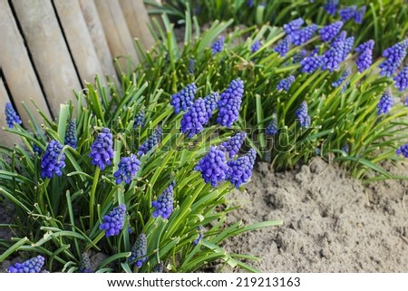 Blue muscari flower (Grape Hyacinth) - stock photo