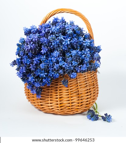 Blue muscari flower in basket - stock photo