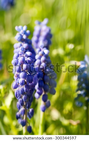 blue Muscari flower on the background of grass in nature - stock photo