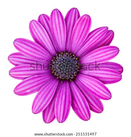 blue osteospermum daisy flower isolated on white with clipping path - stock photo