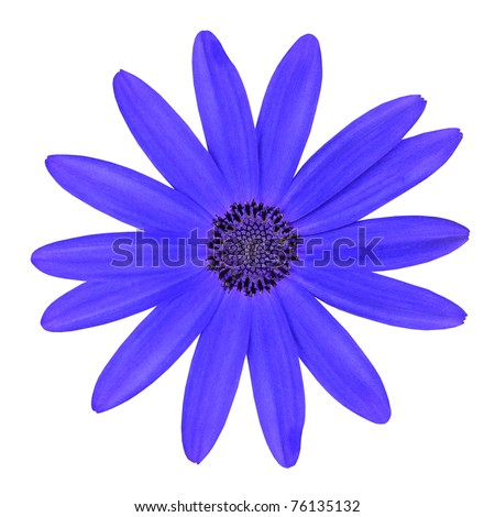 Blue Osteosperumum Flower Daisy Isolated on White Background. Macro Closeup - stock photo