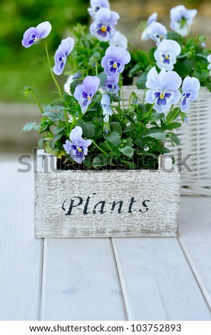 Blue pansies in the wooden pot - stock photo