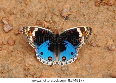 Blue Pansy butterfly (Junonia orithya) in Khao Yai National Park, Thailand - stock photo