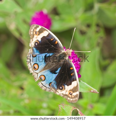 Blue Pansy (Junonia orithya) Butterfly Closed-up - stock photo