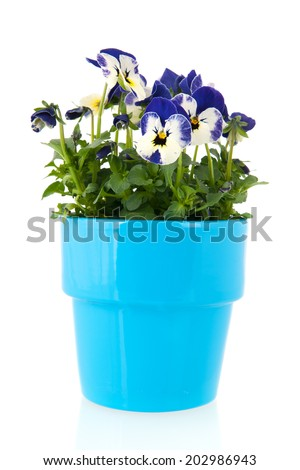 Blue pansy plant with flower pot isolated over white background - stock photo