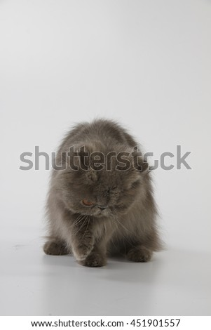Blue persian cat looking down and grab something on white background - stock photo
