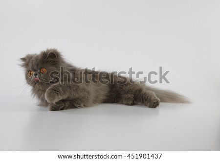 Blue persian cat relaxing and doing tongue out on white background - stock photo