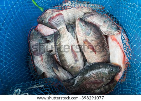 Blue plastic bucket full of raw fresh freshwater fish, Tilapia and Nile tilapia ( known as Mango fish, Nilotica) with blue fishing net to prevent the escape - stock photo