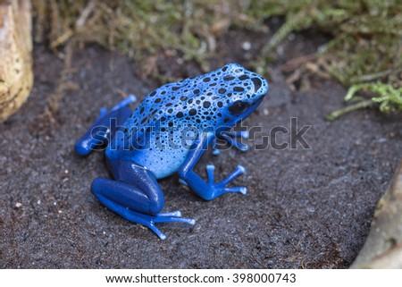 Blue poison-dart frog  - stock photo