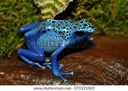 blue poison dart frog sitting on wood - stock photo