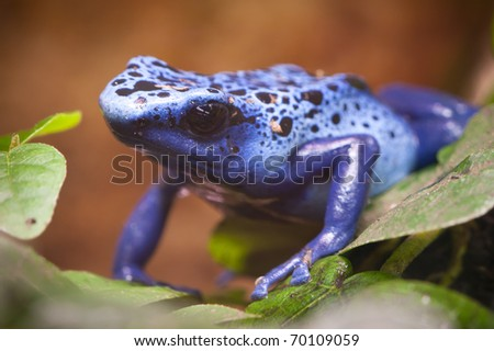 Blue poisonous frog of central america rain forest - stock photo