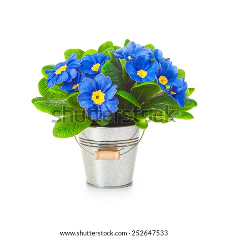 Blue primula spring flowers in bucket isolated on white background. Single object with clipping path - stock photo
