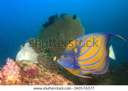 Blue-ringed Angelfish anemone and fan corals in background - stock photo