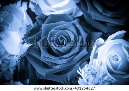 Blue rose flower - stock photo