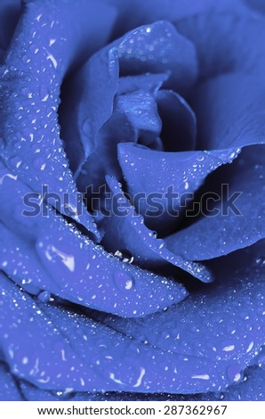 blue rose in drops of water - stock photo