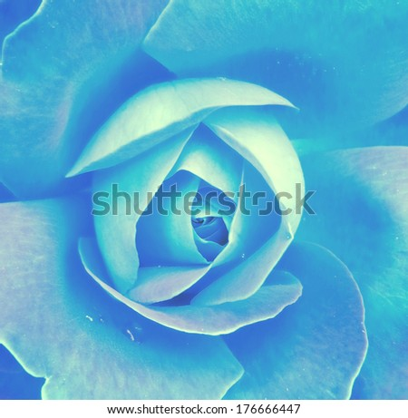 Blue rose macro shot - stock photo