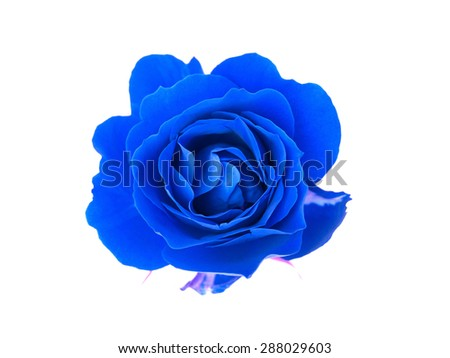 blue rose on a white background - stock photo