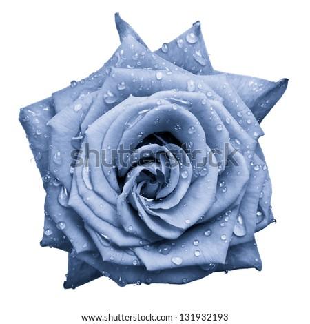 blue rose petals close up - stock photo