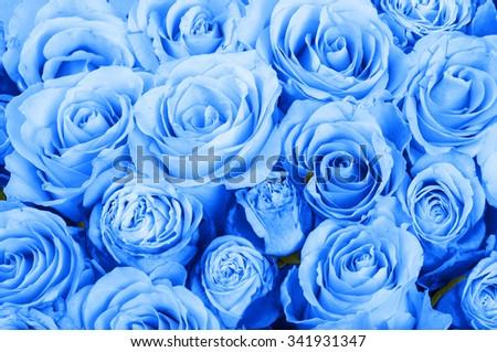 Blue roses background - stock photo