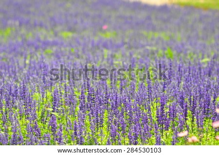 blue salvia flowers in the field in sunny day, soft focus at front of picture - stock photo
