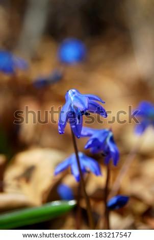 Blue scilla siberica in spring/Scilla siberca flower - stock photo