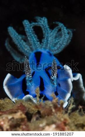 blue sea slug - stock photo