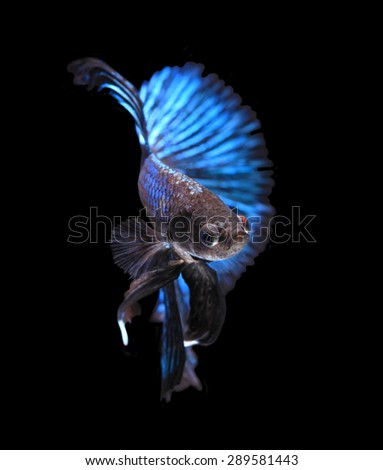 Blue siamese fighting fish,half moon  betta fish isolated on black background.  - stock photo