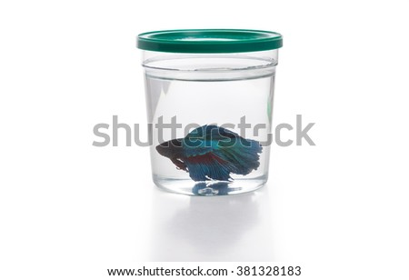 Blue Siamese fighting fish in fish container - stock photo