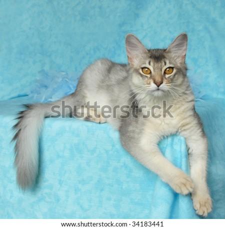 blue silver somali cat - stock photo