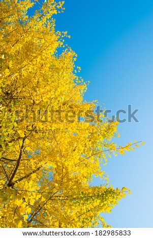 blue sky and ginkgo yellow leaves - stock photo