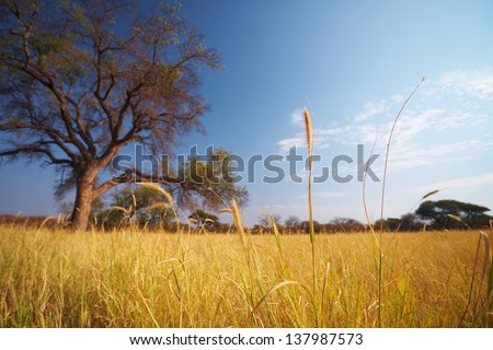 Blue sky and tree on the horizon of a typical winter African grassland Savannah - stock photo
