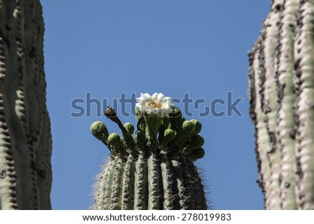 Blue sky sunny day with white flower and green buds atop cactus head/White Cactus Bloom with Green Buds on Top of Cactus Head on Blue Sky Morning/White cactus flower and green buds on head of cactus - stock photo