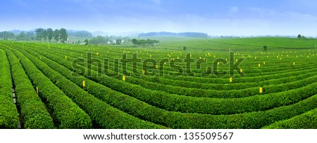 Blue sky, the large area Green tea garden - stock photo