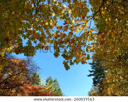 Blue sky viewed through the Autumn leaves of Washington Park in Portland, Oregon.   - stock photo