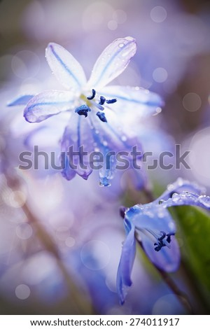 Blue snowdrop blossoming at the beginning of spring - a Scilla Siberica - stock photo