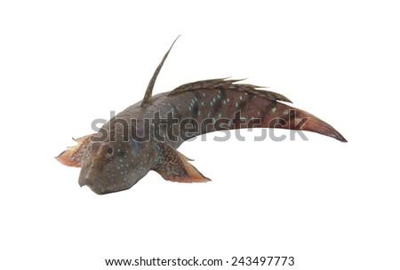 Blue-spotted mudskipper, Boleophthalmus boddarti isolated on white background - stock photo