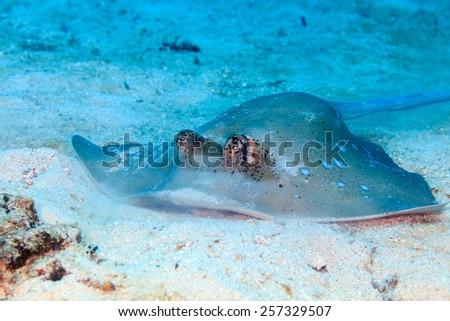 Blue Spotted Stingray feeding on a sandy sea floor - stock photo