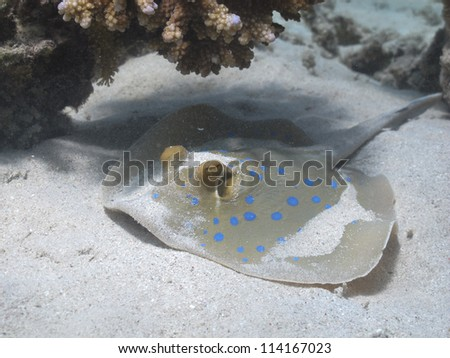 Blue spotted stingray hiding under the table coral - stock photo