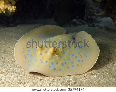 Blue spotted stingray in red sea - stock photo