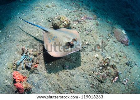 Blue spotted stingray (Taeniura lymma), Bali, Indonesia - stock photo