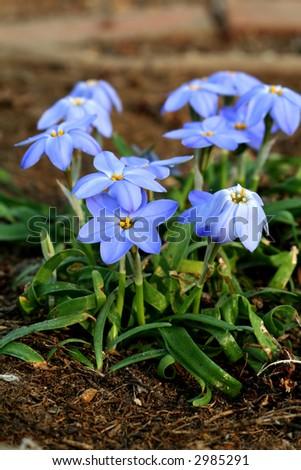 Blue spring flowers - stock photo